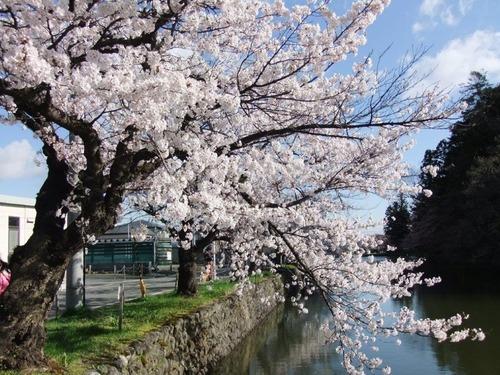 6米沢の桜