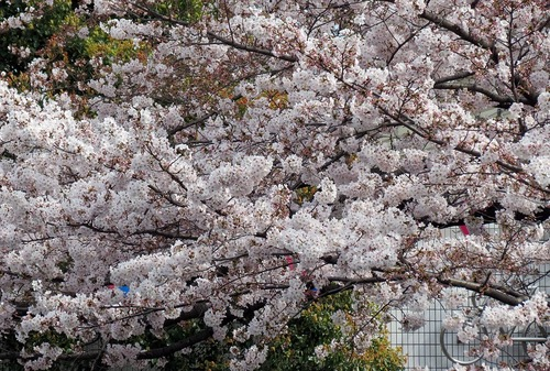 平山さんからの素敵な桜