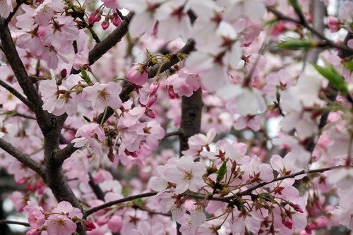 平山さんから素敵な桜