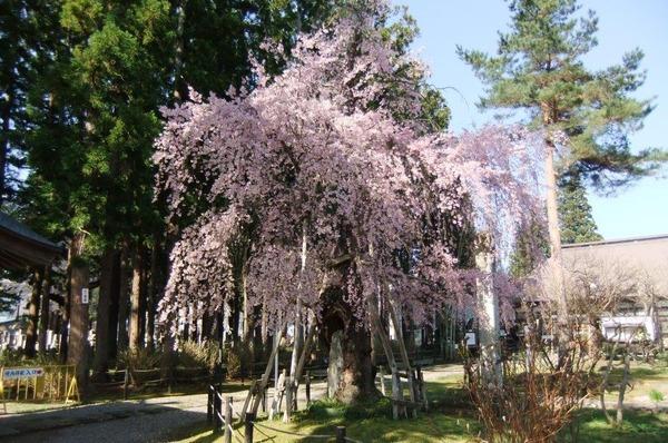 2016_04190014林泉寺の桜4月20日