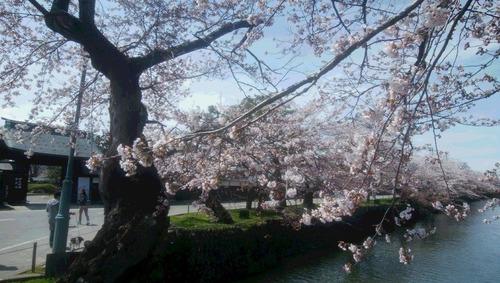 米沢の桜2