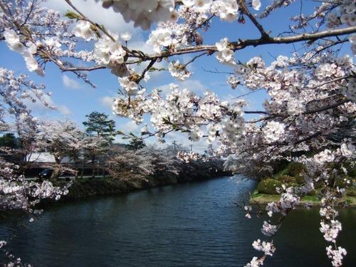 9米沢の桜