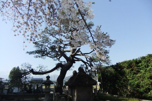 2016_04190018林泉寺の桜4