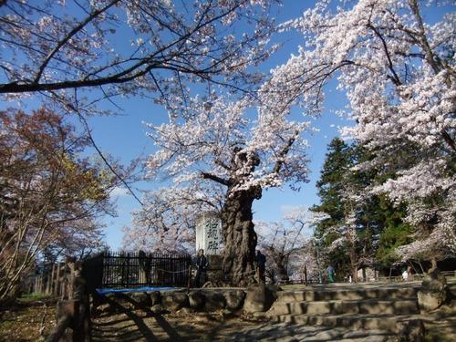 10米沢の桜