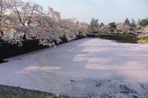 雪のような桜