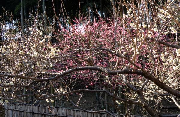 平山さんより28日梅の花