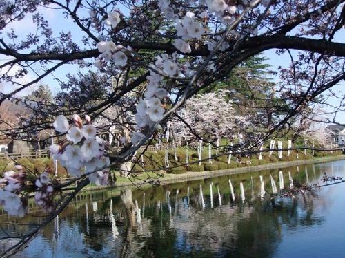 3米沢の桜