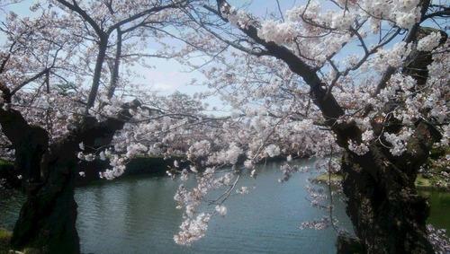 スマホの桜
