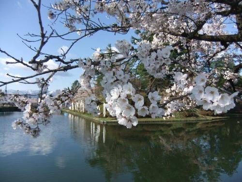 5米沢の桜