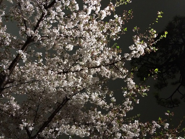 不忍池夜桜