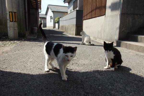 佐柳島、猫