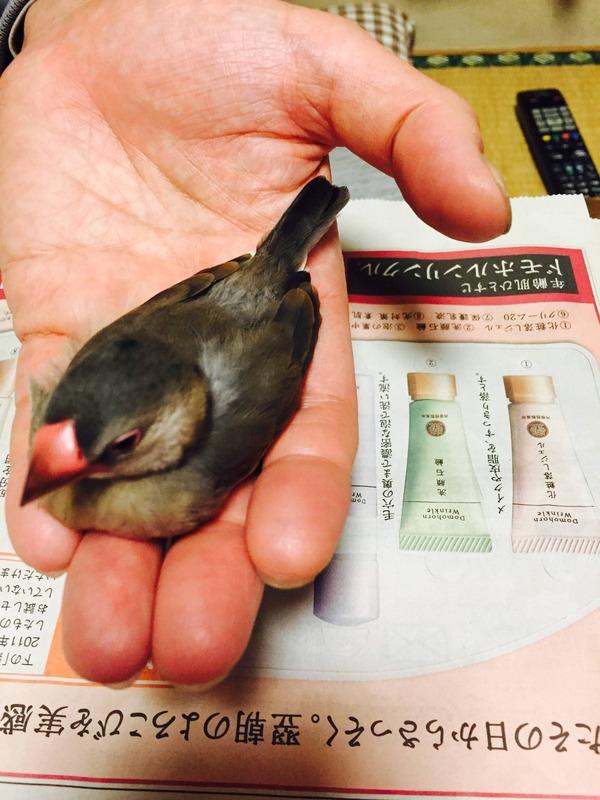 桜文鳥 (9)