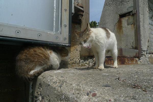 佐柳島、猫 (24)