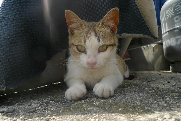 佐柳島、猫 (84)