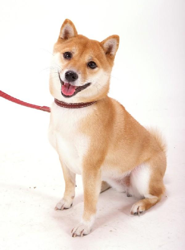 柴犬の画像 p1_39