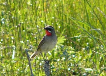 Siberian Rubythroat001
