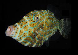 250px-Scrawled_Filefish