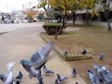 船橋市本町4丁目・旧々市役所跡公園・鳩-20041219-1316-DSC02421