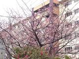 20050129-船橋市若松3・青少年会館・桜開花-1105-DSC04815