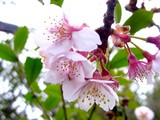 20050129-船橋市若松3・青少年会館・桜開花-1108-DSC04827