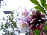 20050129-船橋市若松3・青少年会館・桜開花-1109-DSC04830