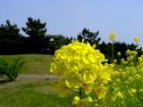 20050416-千葉市美浜区美浜・幕張海浜公園・菜の花-1158-DSC08997