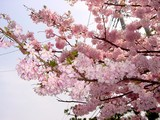 20050416-習志野市・習志野緩衝緑地・香澄公園・桜-1022-DSC08751