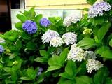 20050619-船橋市浜町2・ホテルサンガーデンららぽーと・アジサイ-1103-DSC01089