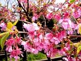 20050327-船橋市・海老川・船橋卸売市場脇・桜-1121-DSC07435