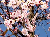 20050327-船橋市日の出1・湊中学校・桜-1051-DSC07386