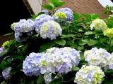 20050619-船橋市宮本2・ふなばし美術学院・アジサイ-1046-DSC01046