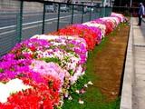 20050429-船橋市浜町・ららぽーと・ツツジ-1007-DSC09601