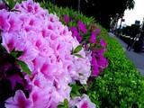 20050422--船橋市浜町2・ららぽーと・道路わきのツツジ-0748-DSC08844