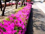 20050429-船橋市浜町・ららぽーと・ツツジ-1008-DSC09603