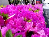 20050429-船橋市浜町・ららぽーと・ツツジ-1008-DSC09602