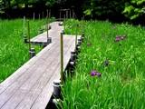 20050529-習志野市香澄・習志野緩衝緑地・香澄公園・ショウブ池・ハナショウブ-1135-DSC02206
