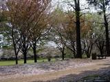 20050416-習志野市・習志野緩衝緑地・香澄公園-1007-DSC08701