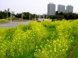 20050416-千葉市美浜区美浜・幕張海浜公園・菜の花-1153-DSC08978