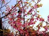 20050327-船橋市・海老川・船橋卸売市場脇・桜-1121-DSC07437