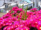 20050521-船橋市栄町1・路地の花-1240-DSC01618