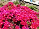 20050521-船橋市栄町1・路地の花-1240-DSC01615