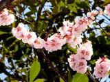 20050327-船橋市日の出1・湊中学校・桜-1051-DSC07387