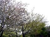 20050416-習志野市・習志野緩衝緑地・秋津公園-0952-DSC08670