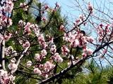 20050327-船橋市日の出1・湊中学校・桜-1050-DSC07383