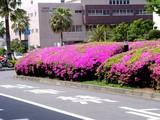20050501-船橋市浜町2・ららぽーとウェスト前・ツツジ-1252-DSC09877