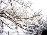 20050329-船橋市湊町1・船橋市立湊町小学校・桜-1711-DSC07638