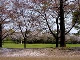 20050416-習志野市・習志野緩衝緑地・香澄公園-1007-DSC08702