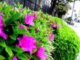 20050422--船橋市浜町2・ららぽーと・道路わきのツツジ-0748-DSC08843