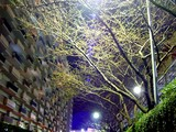 20050330-船橋市浜町2・ららぽーとホテルサンガーデン・脇の桜-2136-DSC07704