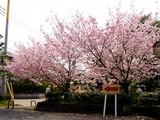 20050416-習志野市・習志野緩衝緑地・香澄公園・桜-1022-DSC08750